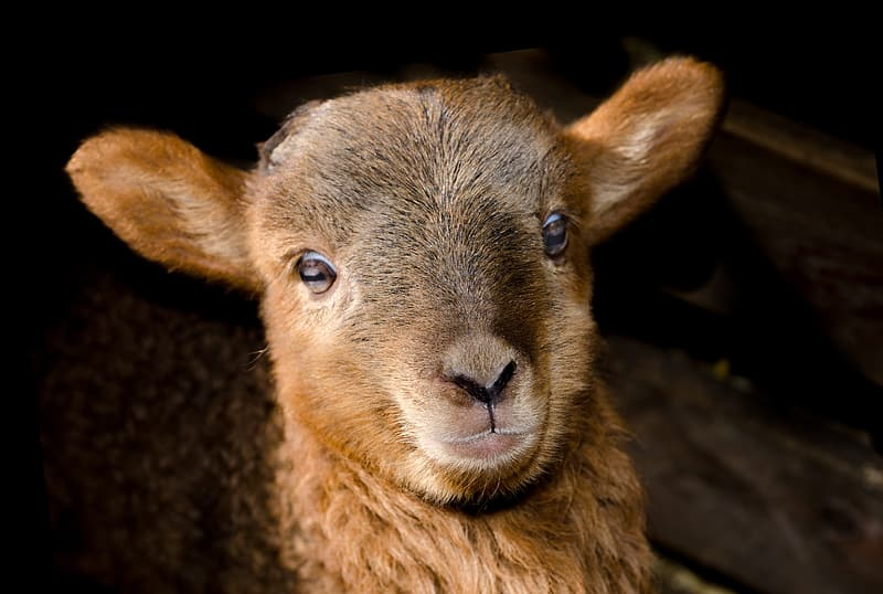 Shallow focus of brown sheep