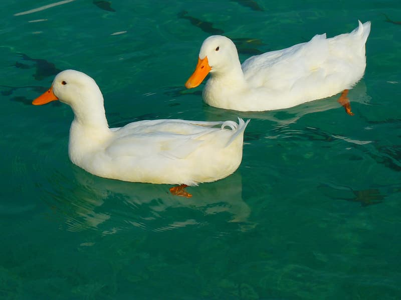 Two white ducks on body of water