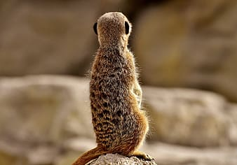 Brown squirrel on rock