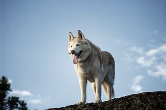 Gray and brown wolf on rock mountain during daytime