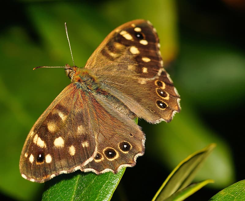 Brown peacock butterfly perched on leaf