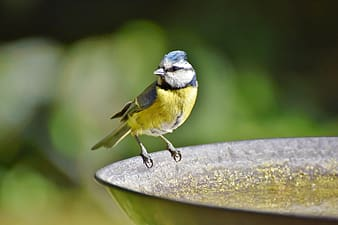 Yellow and blue bird on brown wooden branch