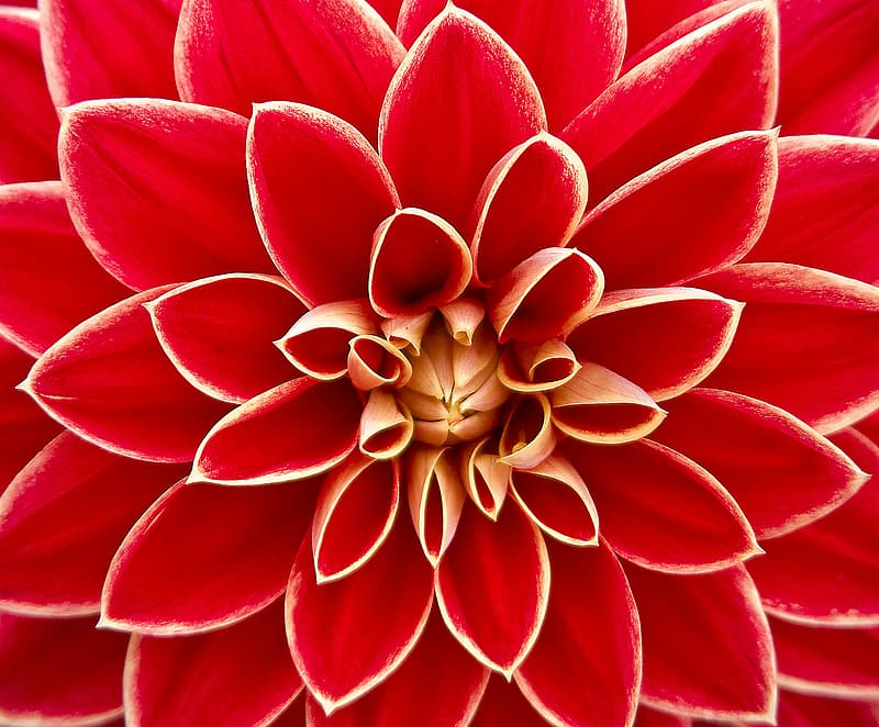Red and beige flower macro photography