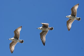 Three grey gulls flying at daytime