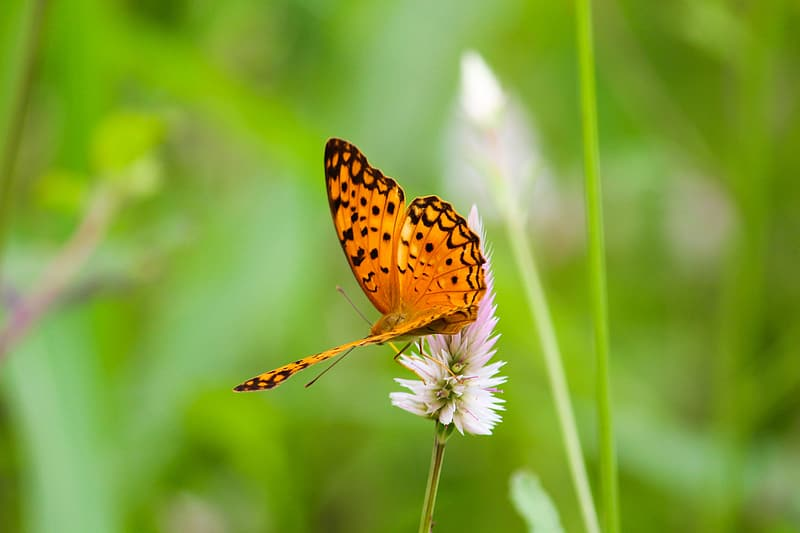 Gulf fritillary butterfly perching on white flower during daytime in close-up photography