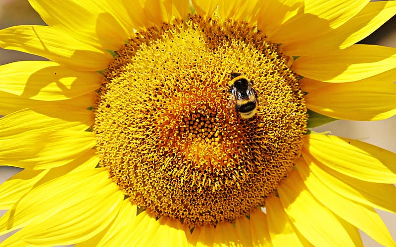 Yellow sunflower with black and yellow bee