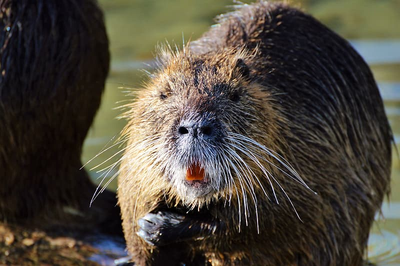 Brown beaver near body of water in close-up photography