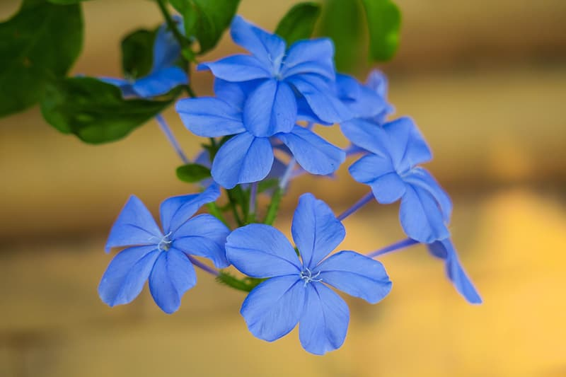Blue 5 petaled flower in close up photography
