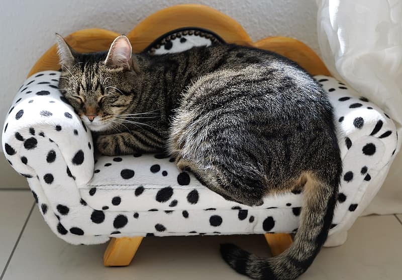 Brown Tabby cat laying in white and black polka-dot pet bed