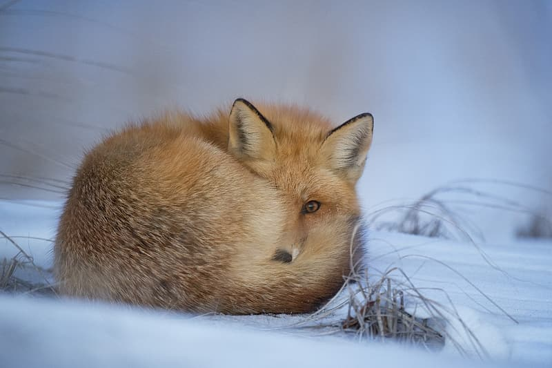Orange fox lying on snow