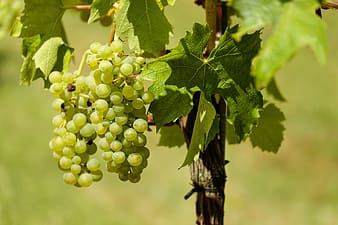 White grapes on brown stick