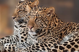 Two reclining leopards