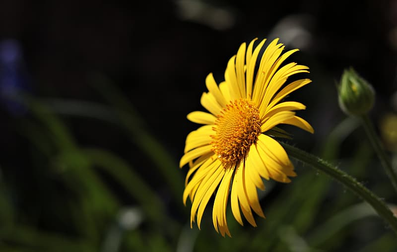 Selective focus photography of yellow daisy in bloom