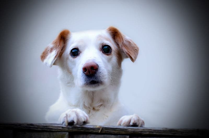 Adult white and tan Jack Russell terrier
