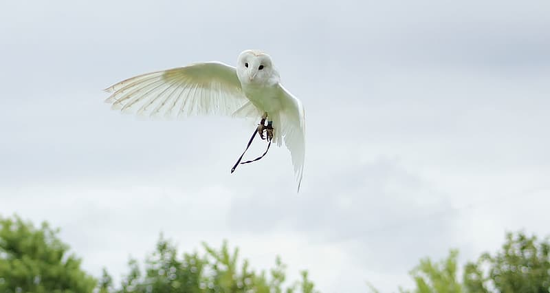 Barn owl flying in the air