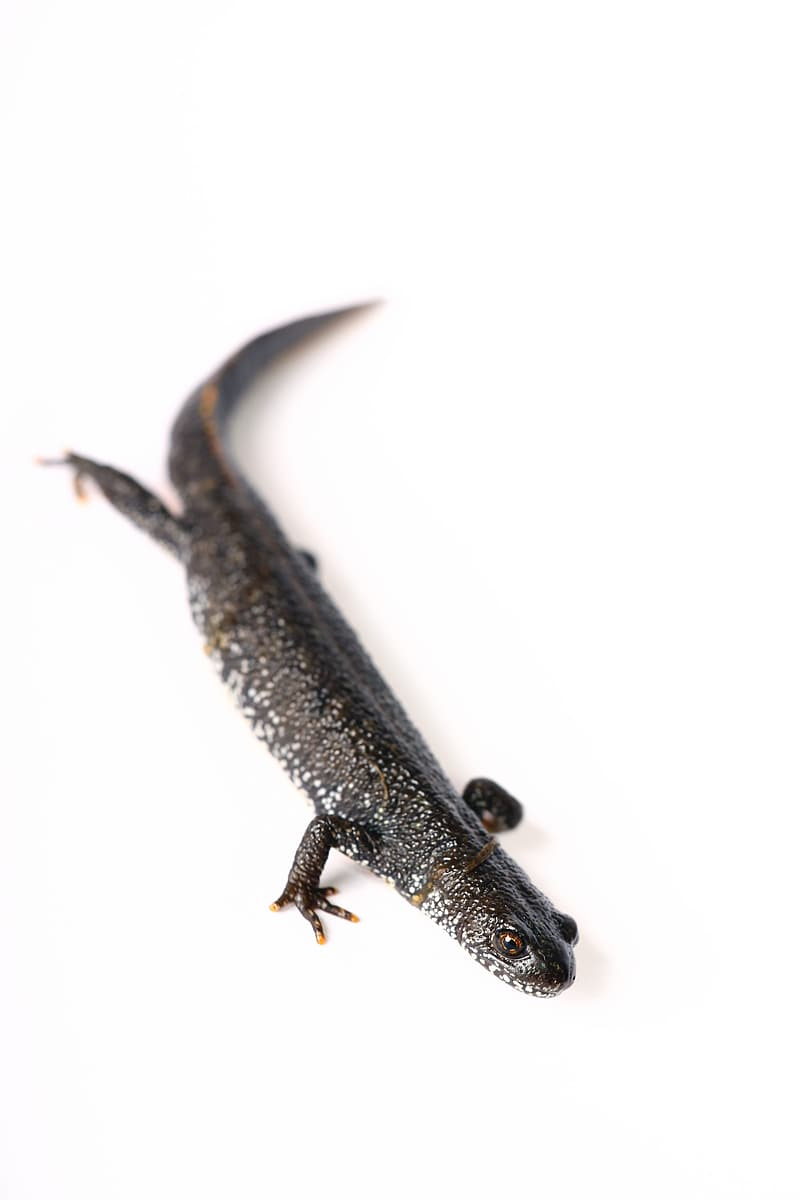 Black and brown lizard on white background
