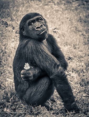 Black sitting gorilla