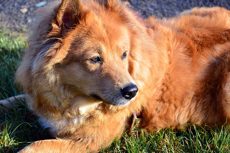 Brown long coated dog lying on green grass during daytime