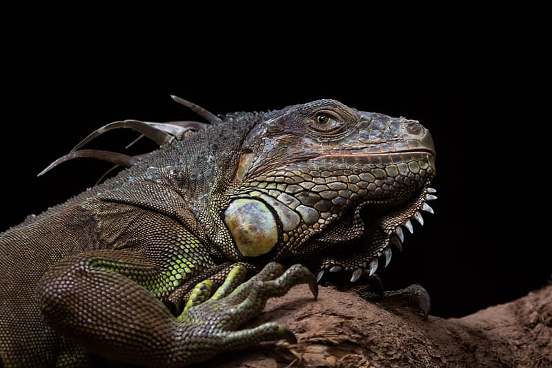 Green and brown iguana on brown rock