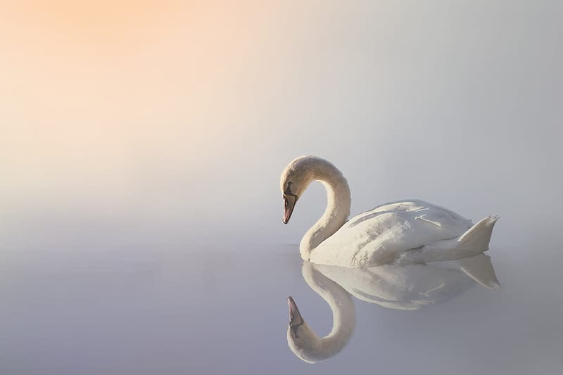White swan photography during daytime