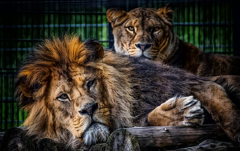 Lion and lioness lying on ground