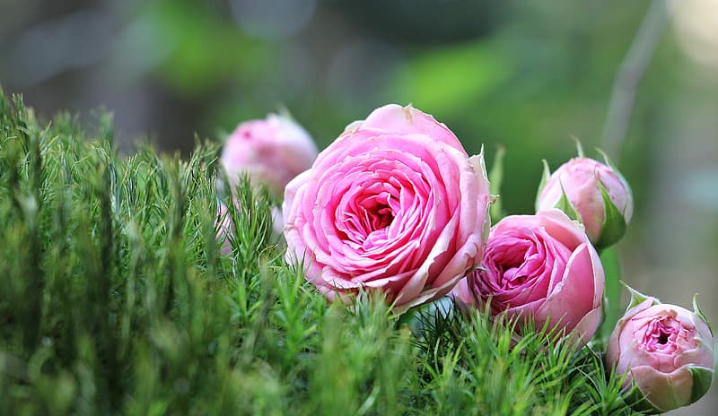 Shallow depth of field of pink petaled flowers