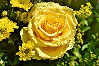 Yellow roses under sunny sky