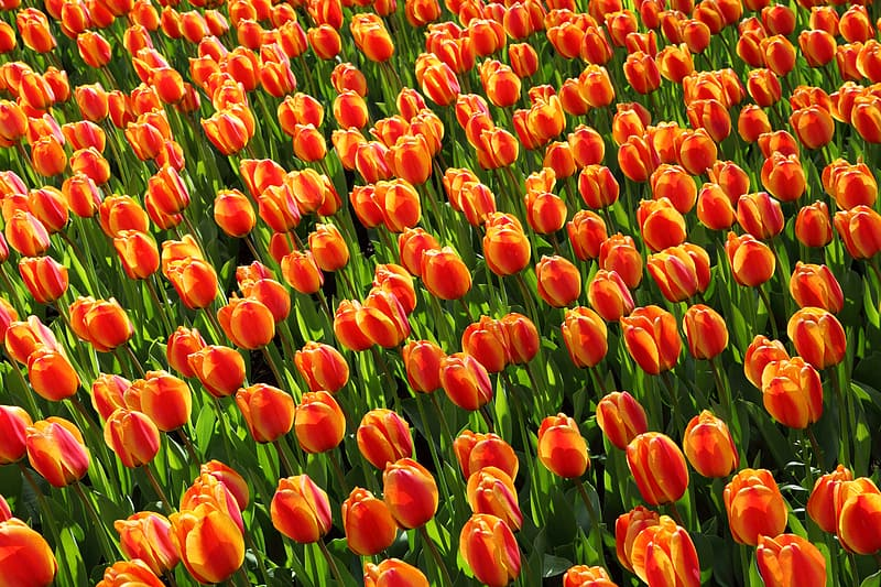 Red-and-yellow tulips field at daytime