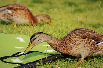 Two brown ducks on green grass