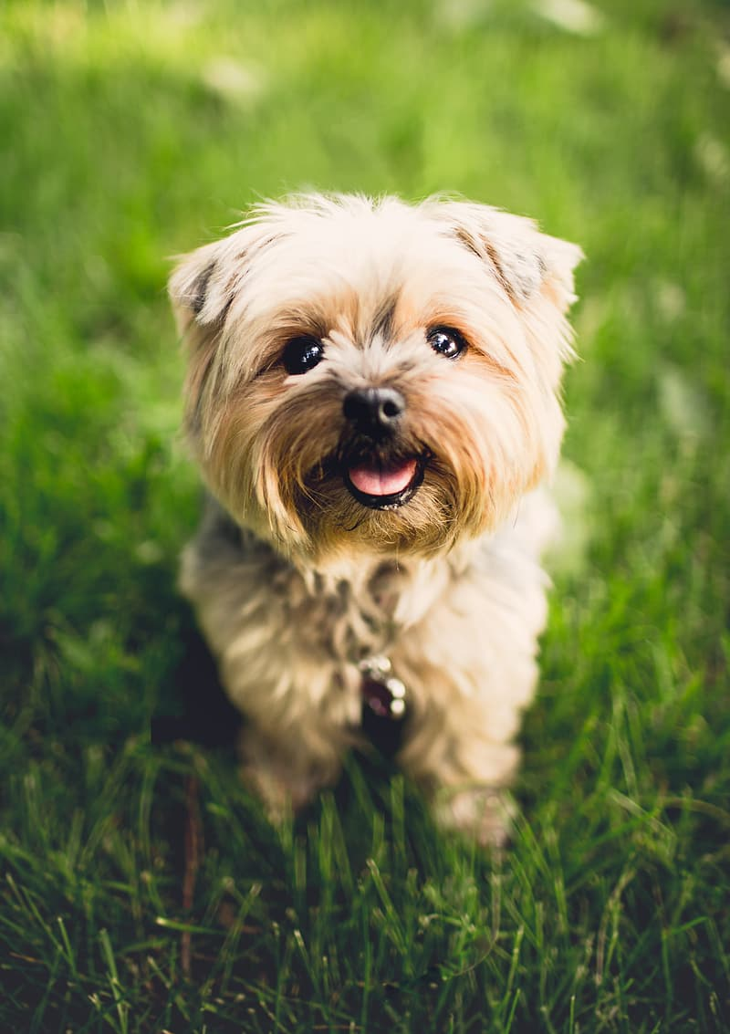 Brown and white long coated small dog on green grass field