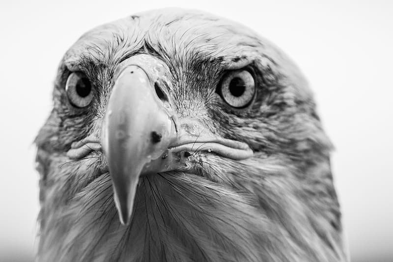 Shallow focus photography of eagle