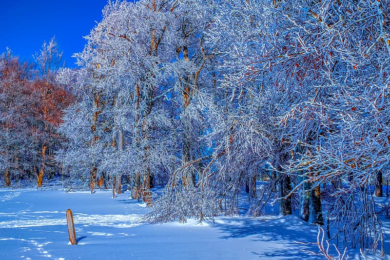 Brown trees covered with snow during daytime
