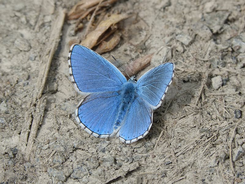 Silver blue studded butterfly in closeup photography