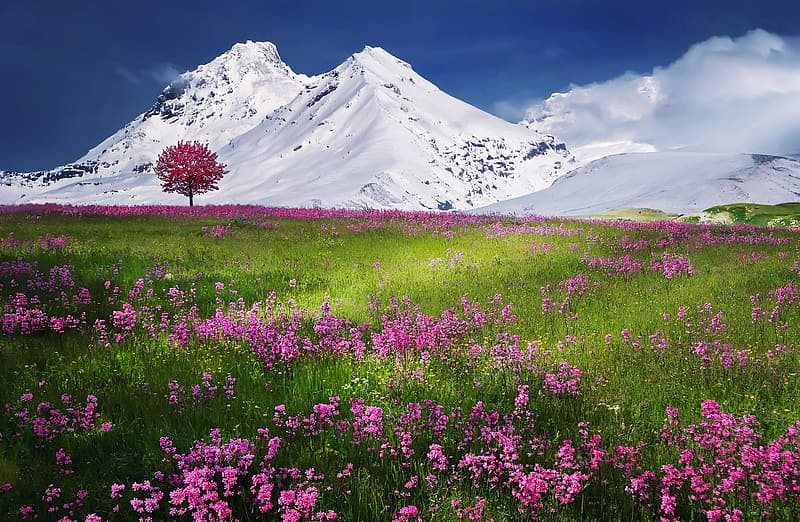 Pink flower field with single tree and background of snow-capped mountain