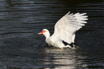 White duck on water during daytime