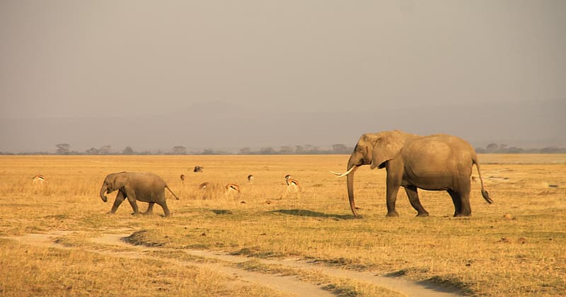 Two elephants on brown grass field under gray sky during daytime