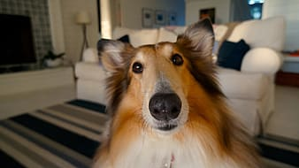 Close up photo of brown and white rough collie