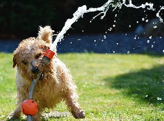 Short-coated tan and white dog playing on garden hose during daytime