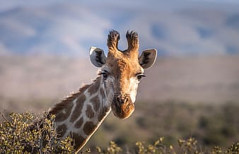 Giraffe eating green grass during daytime