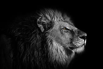 Black and white lion illustration