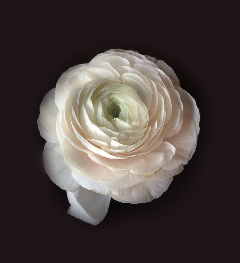 White ranunculus flower in closeup photo