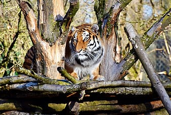 Brown and black tiger photography