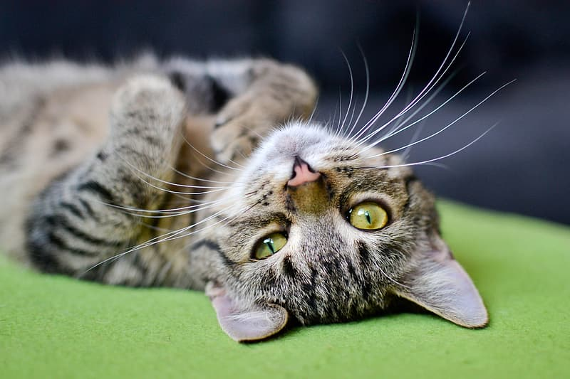 Selective focus photography of tabby cat lying on green surface