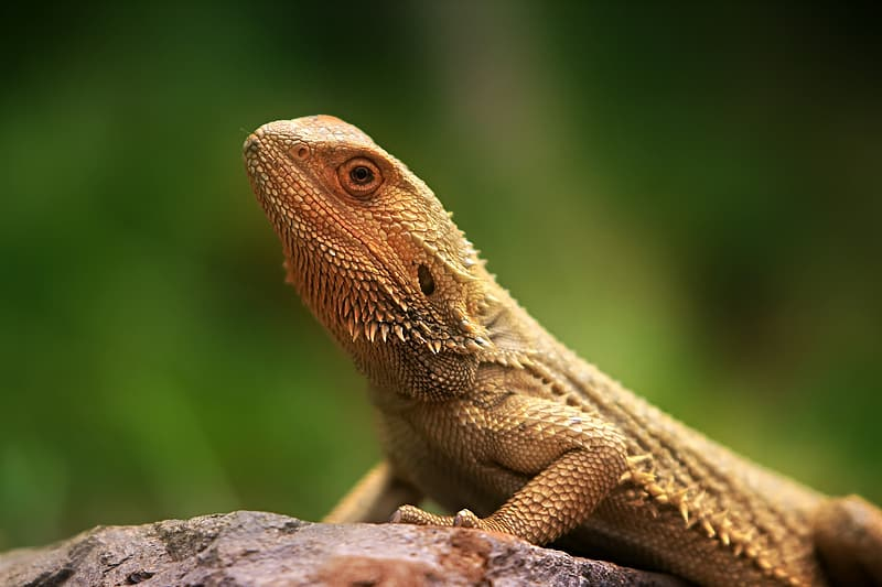 Selective focus photography of brown bearded dragon