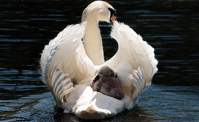 White swan with gray duckling on water at daytime