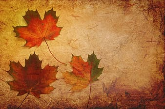 Three withered maple leaves