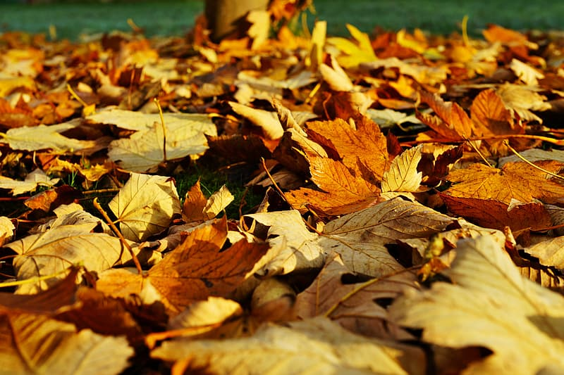 Closeup photography of brown dried maple leaf