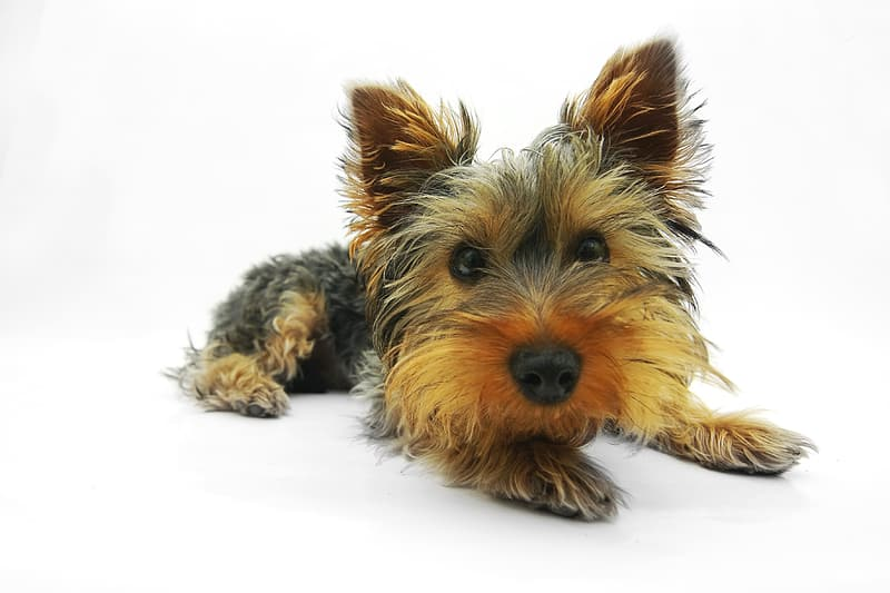 Photo of black and tan Yorkshire terrier puppy prone lying on floor