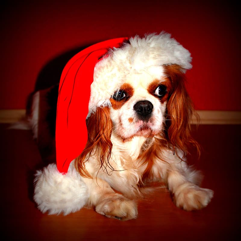 Brown And White Cavalier King Charles Spaniel With Red