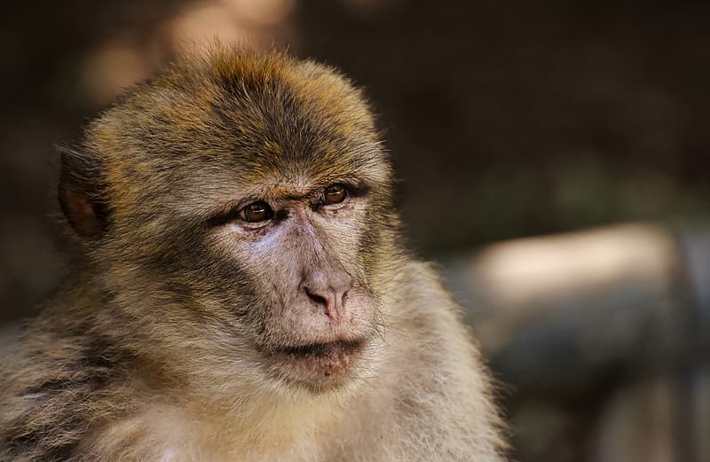 Brown monkey in close up photography